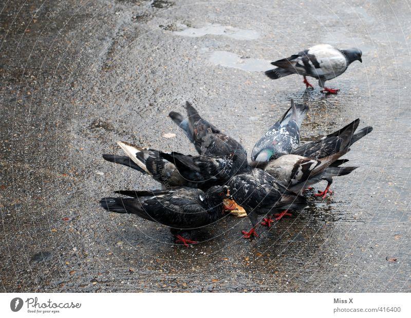 Getaube Krankheit Tier Vogel Taube Tiergruppe Schwarm Fressen füttern dreckig Straßentaube Schädlinge Taubenplage Plage Farbfoto Gedeckte Farben Außenaufnahme