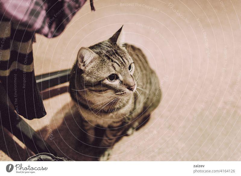 gestromte Katze und Hauskatze im Inneren eines Zimmers eines ruhenden Hauses ohne Menschen ungewöhnlicher Winkel schön Hintergrund Nahaufnahme Tier niedlich