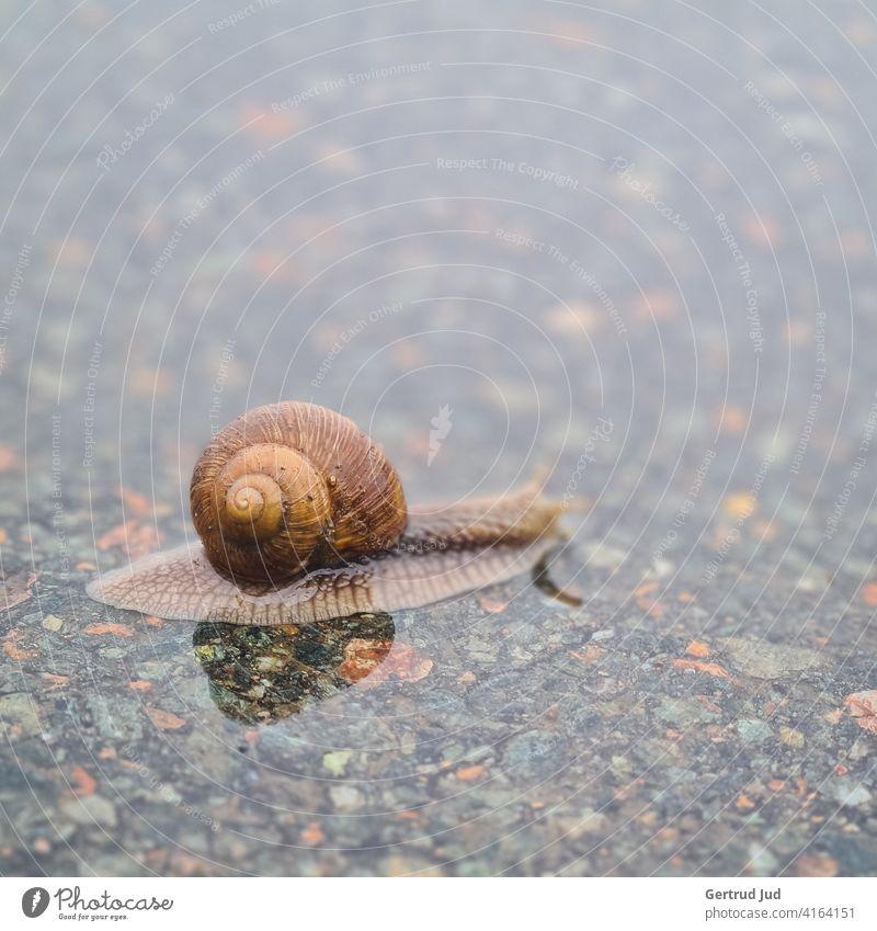 Kleine Schnecke überquert die Straße im Regen Landschaft Regenwetter Tier nass schlechtes Wetter Wasser Außenaufnahme Farbfoto Natur Menschenleer Tag