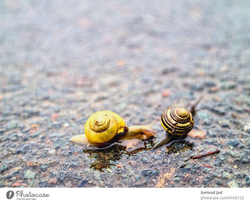 Zwei Schnecken auf der regennassen Straße Landschaft Regenwetter Tier schlechtes Wetter Wasser Außenaufnahme Farbfoto Menschenleer Natur Tag