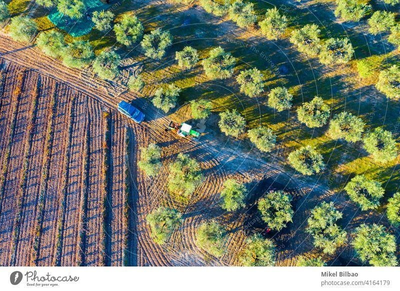 Luftaufnahme eines Ackerlandes mit Olivenbäumen Linien und einem landwirtschaftlichen Traktor. oliv Antenne Bauernhof Ackerbau Landschaft niemand Schonung Hain