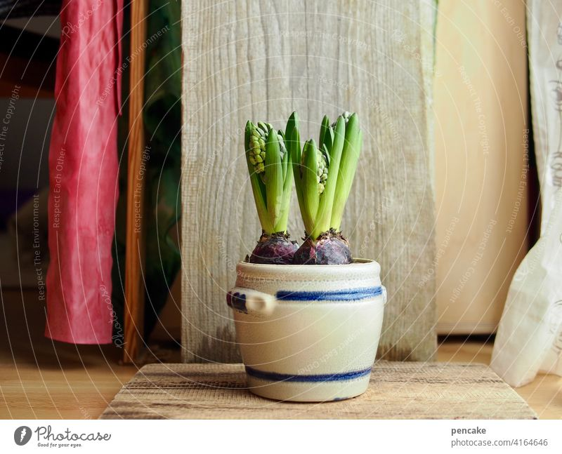startup Topf Frühling Start Beginn Hyazinthe Vorhang Pflanze Blume Zwiebel Blumenzwiebel Holz Bühne rot roter Vorhang Lebenskraft Wachstum rustikal Holzplatte