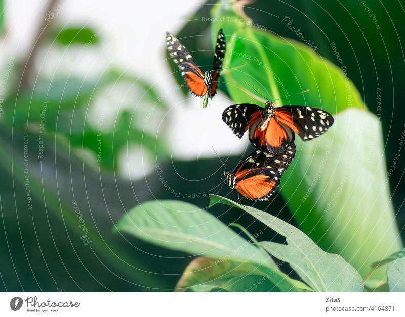Monarchfalter auf den Pflanzen im Frühling Schmetterling Schmetterlinge Insekt hübsch Natur Gras grün orange Flügel fliegen Fliege Sommer Saison Garten Fee