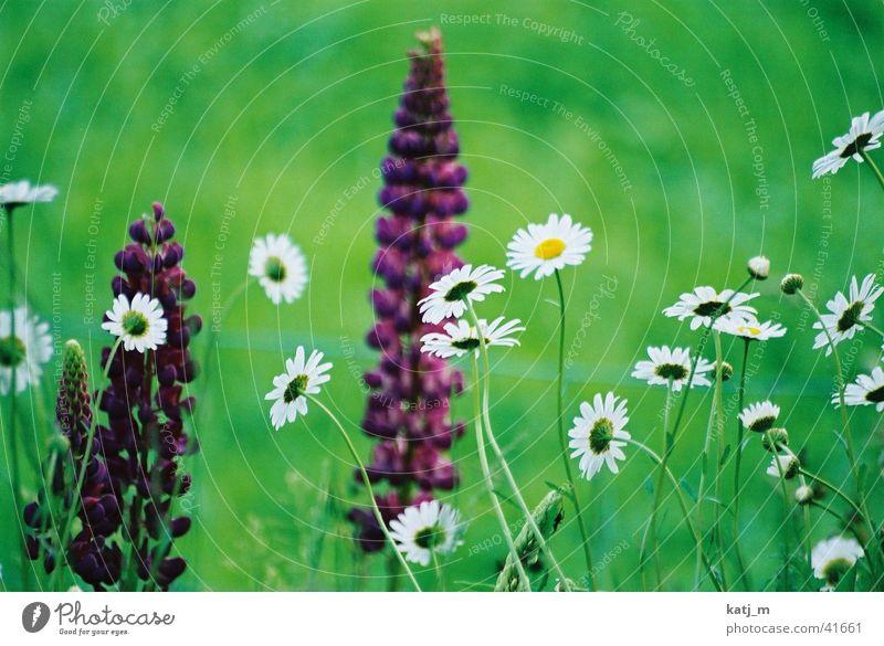 Blumen Wiese Blumenwiese Hyazinthe