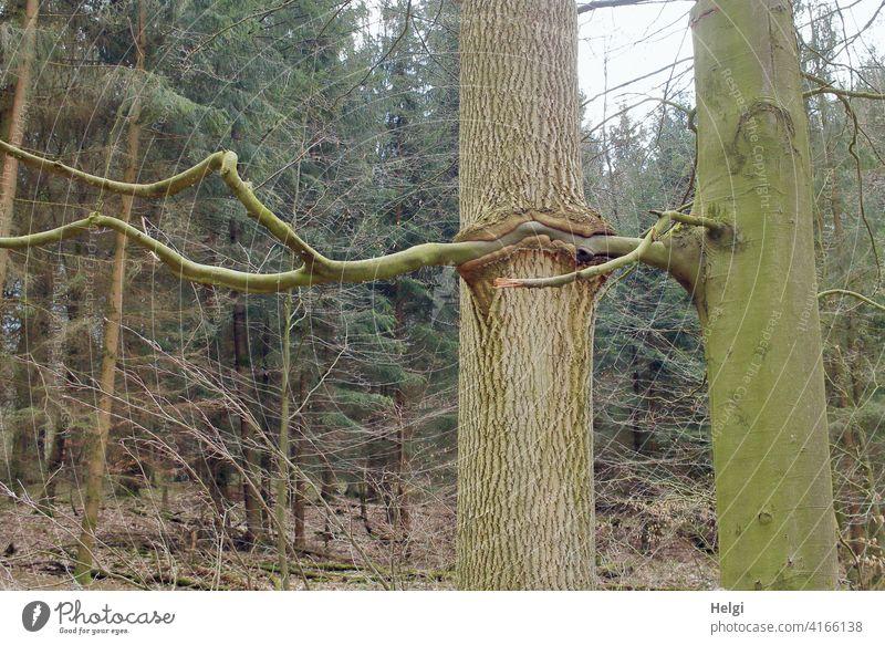 innige Verbundenheit - zwei Bäume, der Ast des einen ist mit dem Baumstamm des anderen verwachsen Wald Eiche Buche ineinander kurios außergewöhnlich Verbindung