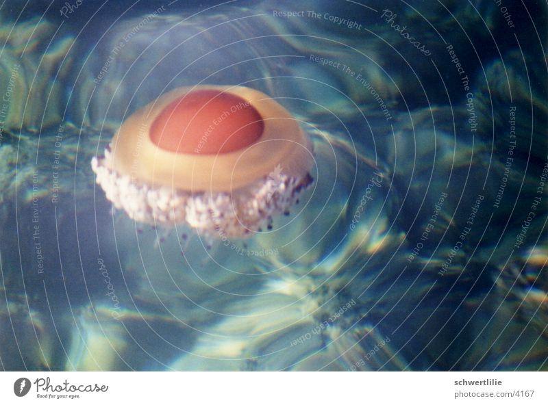 Qualle oder Spiegelei Wasser Meer