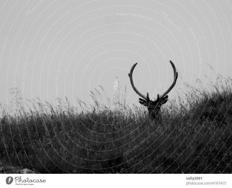 stolzer Hirsch liegt in hohem Gras Geweih Wild Wiese Wildtier Tier Überblick beobachten schön Blick stark beeindruckend Stärke Natur Außenaufnahme Menschenleer