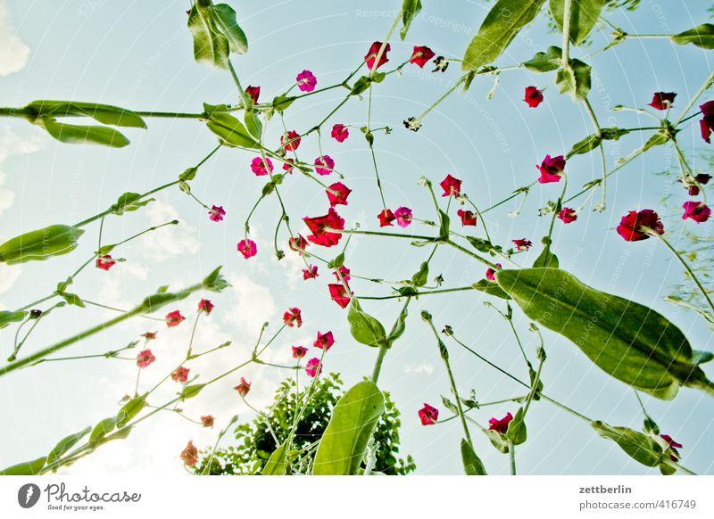 Lichtnelke again Himmel Natur Pflanze Sommer Erholung Freude Blume ruhig Umwelt Blüte Garten Park Freizeit & Hobby Zufriedenheit Klima Schönes Wetter