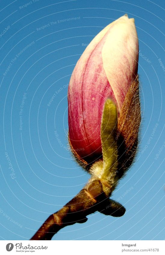Magnolie in der Morgensonne Himmel weiß blau Frühling Garten rosa Blütenknospen Magnoliengewächse