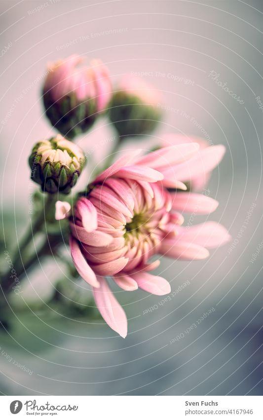 Blumen mit ihren zarten Blüten im Frühling. blüte blume bienenfreundlich wildblumen wiese regentropfen naturbelassen bio garten rosa leuchten makro nahaufnahme