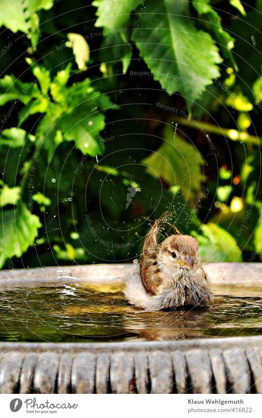 Little swan Umwelt Tier Schönes Wetter Garten Vogel Schwan 1 Tierjunges Wasser Schwimmen & Baden niedlich braun grau grün Spatz Sperling Freude Haussperling
