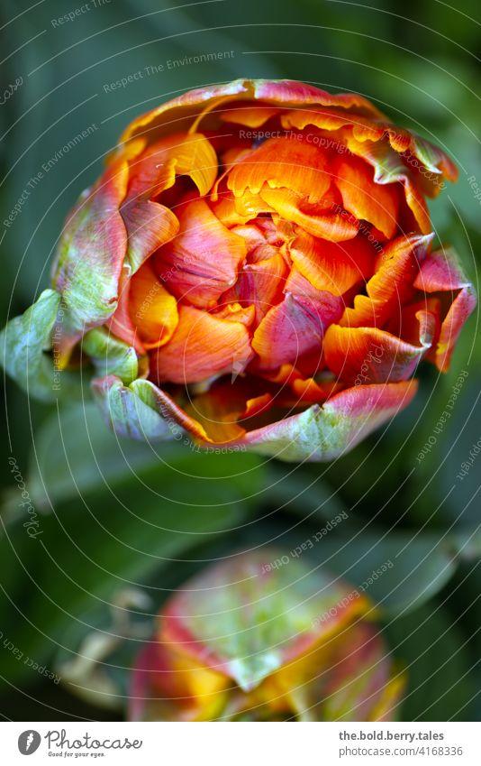 Tulpenblüte von oben orange-rot Blume Blüte Frühling grün Natur Farbfoto Blühend Pflanze Tag Außenaufnahme Nahaufnahme leuchten