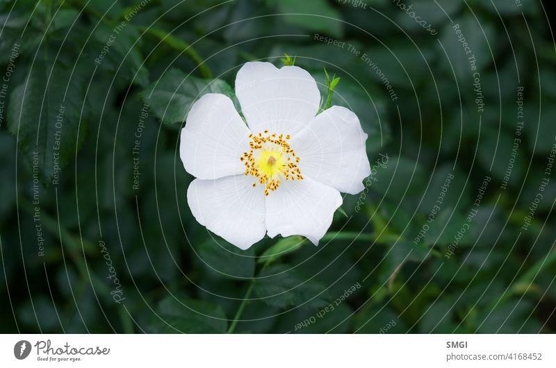 Solitärblume der Zistrose oder bekannt als Blume der Zistrose. Typische Blume der mediterranen Wälder, Portugal und Extremadura Natur Pflanze Blatt Blütenblatt