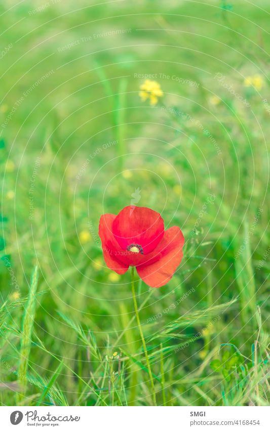 Blüte von Papaver rhoeas oder bekannt als Mohn, wächst solitär in einem sommerlichen FeldPapaver rhoeas Blume Pflanze Natur rot Sommer Blütenblatt geblümt