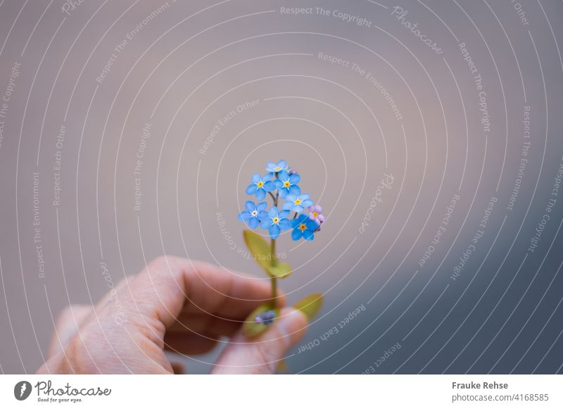 Vergiss mein nicht! - Vergissmeinnicht gehalten mit der linken Hand mit Fokus auf den Blüten Blume überreichen geben blau lila Frühjahr Frühling kräftiges Blau