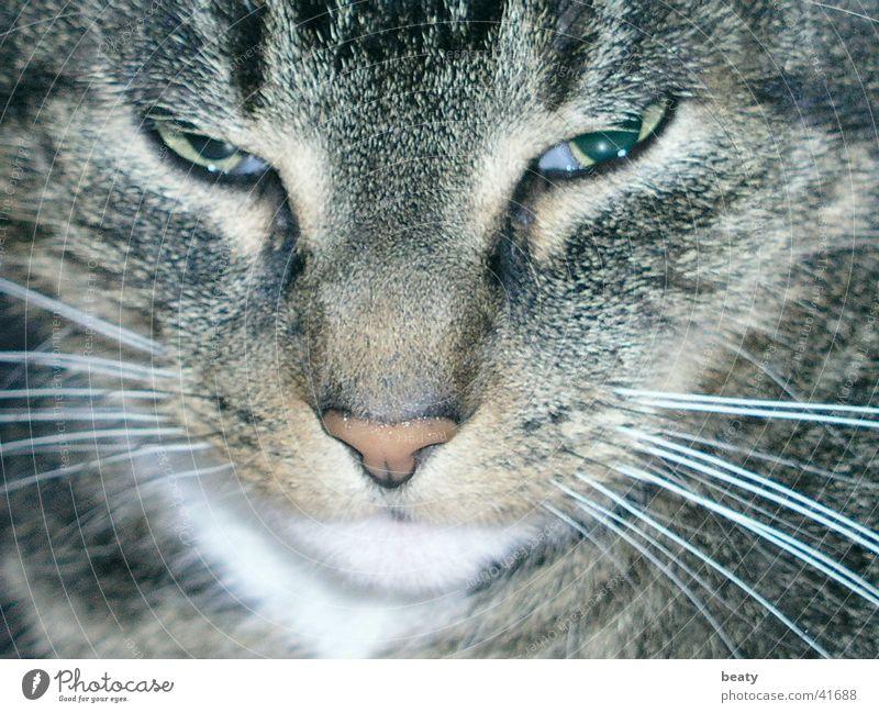 Katzenaugen Auge Tiergesicht geheimnisvoll Haustier Katzenkopf