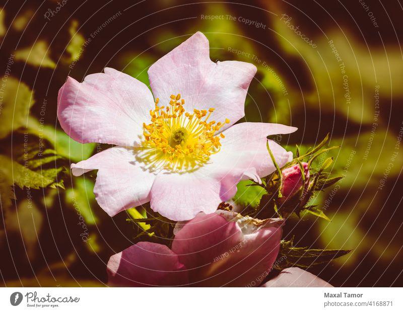 Rosa Eglantine schön Schönheit Überstrahlung Blüte Ast Dornbusch Heckenrose Buchse Canina schließen Nahaufnahme Hundsrose geblümt Blume Blumen Garten grün Kopf