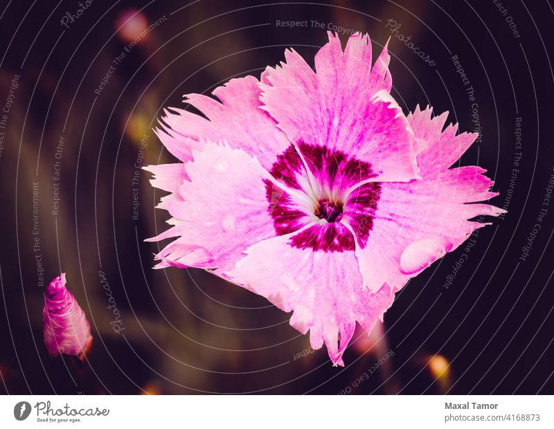 Rosa Dianthus Angiospermen Hintergrund schön Schönheit Blüte Caryophyllaceae Caryophyllales chinensis Nahaufnahme farbenfroh Kerneudikotyledonen Nelkengewächse