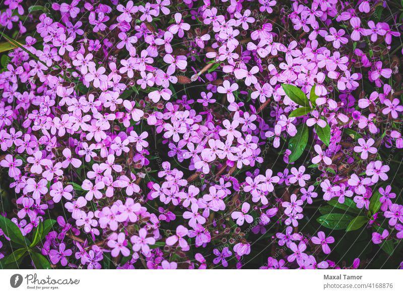 Gypsophila Angiospermen Hintergrund Schönheit Blütezeit Überstrahlung Teppich Caryophyllaceae Caryophyllales Nahaufnahme Kerneudikotyledonen