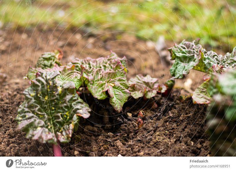 Rhabarber im Wachstum mit gekräuselten Blättern auf trockener Erde Gemüse grün Lebensmittel Ernährung Vegetarische Ernährung Gesunde Ernährung frisch Garten
