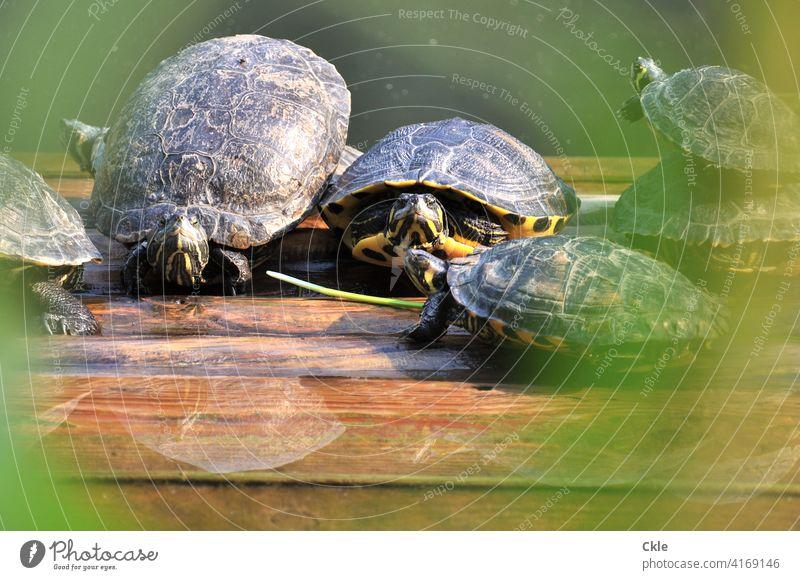 Schildkröten auf Wasserbank Reptilien Panzer Gruppe Gemeinschaft Natur Tier Außenaufnahme wild Tierwelt Nahaufnahme Lebewesen Fauna klein Umwelt Holzbank Floß