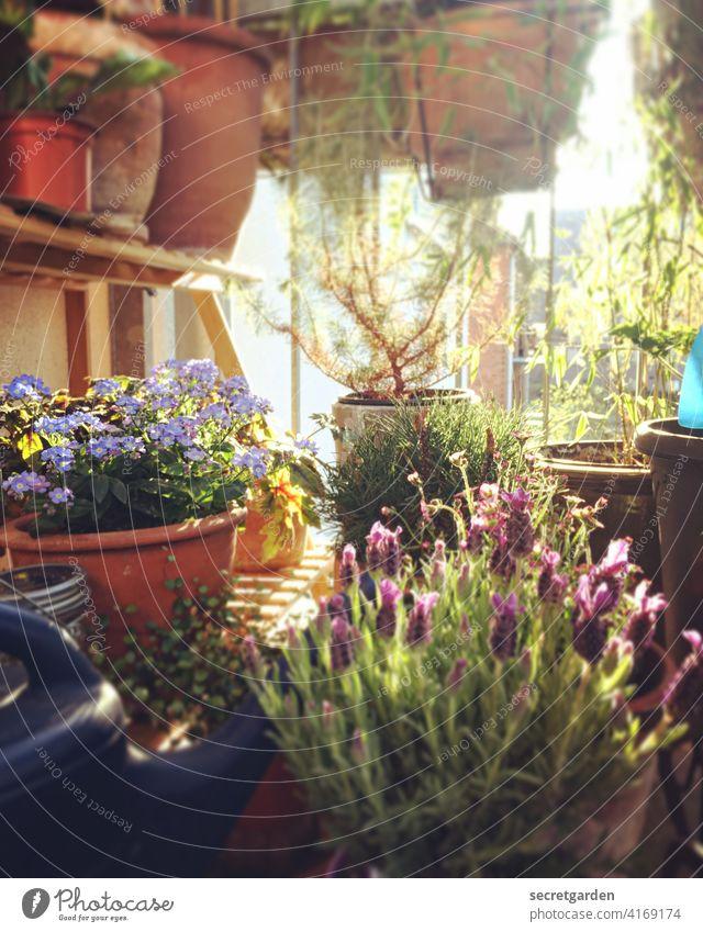 """""""Lavendel - Vergiss mein nicht"""" sagte die Zeder. natürlich Balkonpflanze Nutzpflanze braun Topfpflanze gärtnern emsig überquellen Frühling voll Ginster Lockdown"""