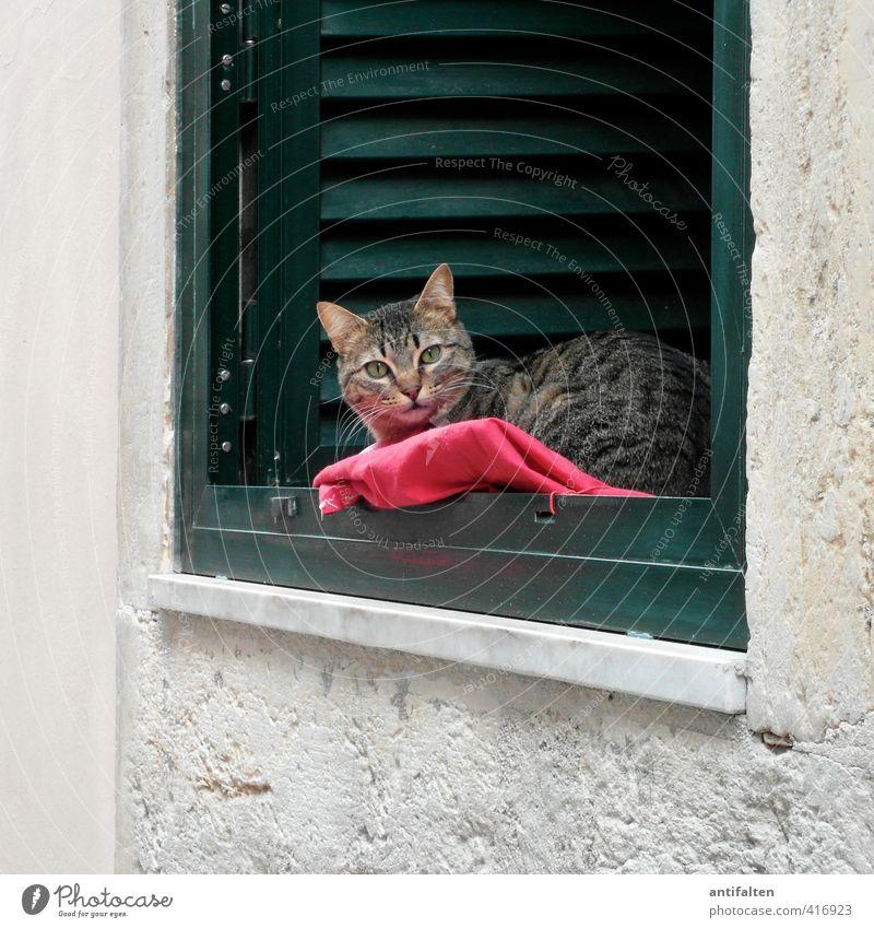 Lissabonner Katze Stadt schön grün weiß rot ruhig Tier Haus Fenster Wand Mauer Holz Stein natürlich Fassade