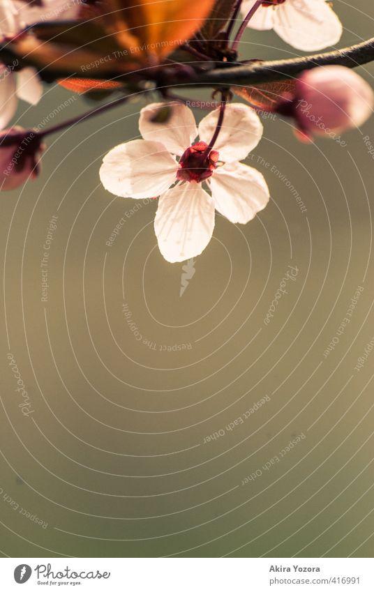 Die andere Seite. Pflanze Frühling Baum Blatt Blüte beobachten Blühend braun grün rosa rot weiß Frühlingsgefühle Romantik Beginn Natur Kirschbaum Kirschblüten