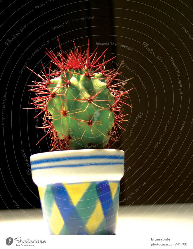 Kleiner Punk grün Pflanze rot klein Topf Kaktus Stachel stachelig