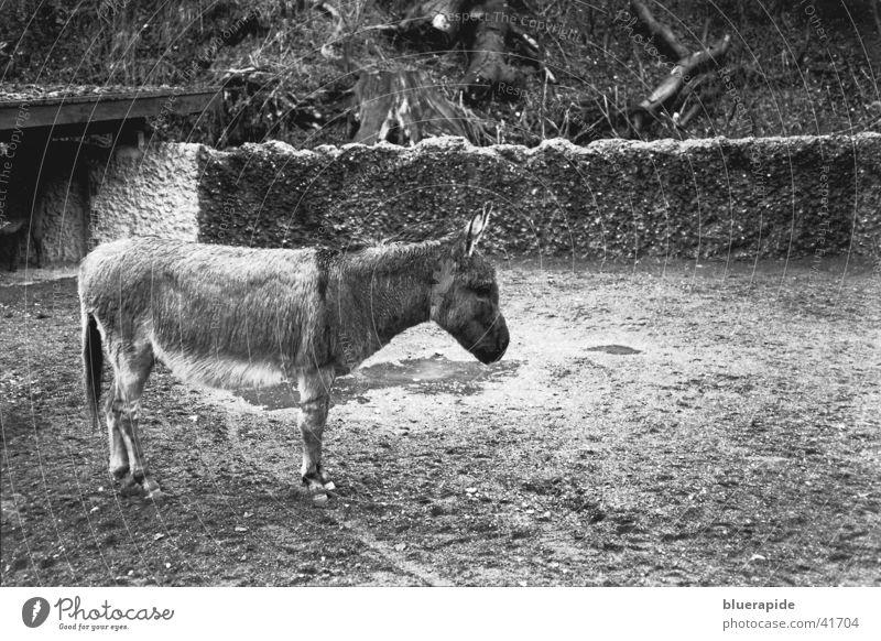 wet donkey grau Zoo nass Haustier Trauer Tier Einsamkeit Gehege gefangen Mauer Fell Huf Pfütze Regen Schwarzweißfoto anschiss Gleichgültigkeit Traurigkeit supf