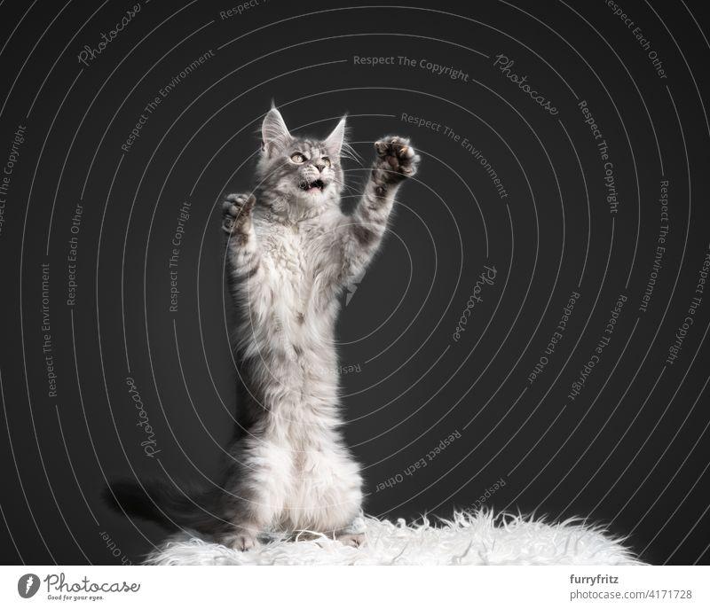maine coon Kätzchen spielen Aufbäumen stehend auf den Hinterbeinen mit Kopie Raum Katze Ein Tier Fell katzenhaft fluffig Rassekatze maine coon katze