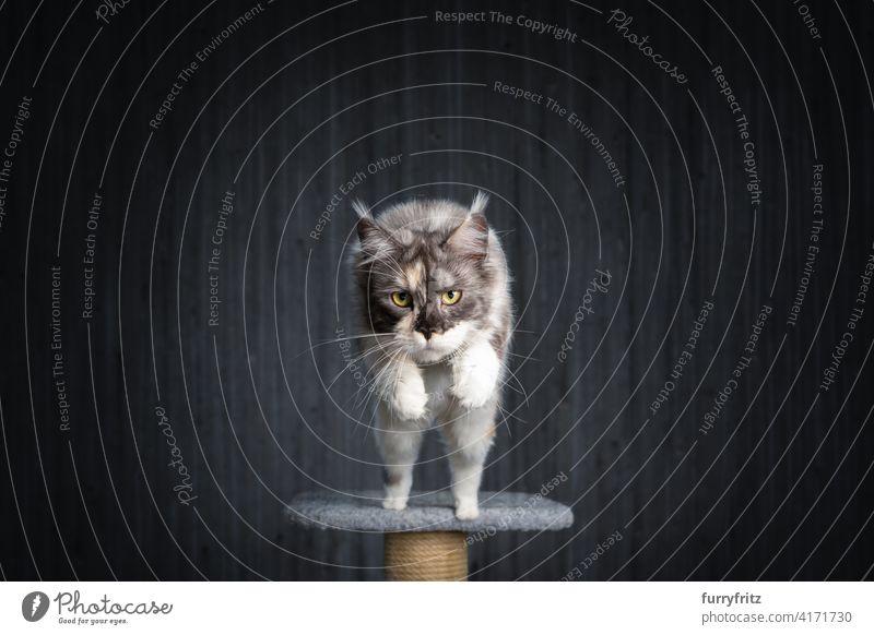 weiß schildpatt maine coon Katze springt von Kratzbaum Ein Tier Fell katzenhaft fluffig Rassekatze maine coon katze Langhaarige Katze Schildpattkatze Kattun