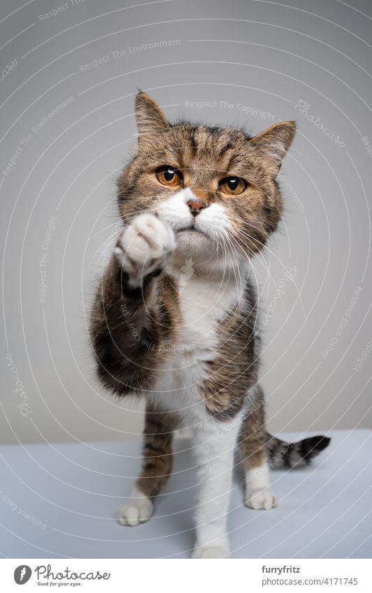 getigerte weiße Katze versucht, die Kamera zu erreichen und sieht traurig aus Ein Tier Fell katzenhaft Kurzhaarkatze Tabby Studioaufnahme in die Kamera schauen