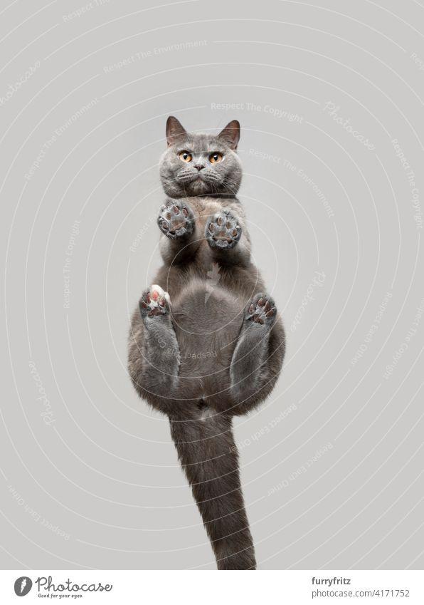 Unteransicht einer Britisch-Kurzhaar-Katze, die neugierig in die Kamera schaut Ein Tier Fell katzenhaft Rassekatze britische Kurzhaarkatze Schildpattkatze blau
