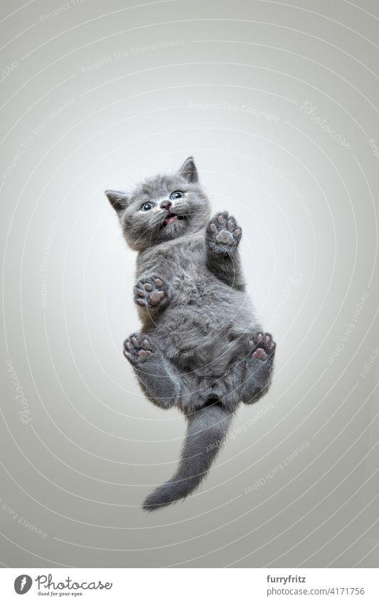lustige Unteransicht eines kleinen Britisch-Kurzhaar-Kätzchens, das auf einer Glasscheibe sitzt und nach unten schaut Katze Ein Tier Fell katzenhaft Rassekatze