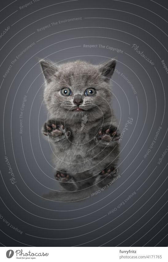 Niedrigwinkelansicht eines kleinen Britisch-Kurzhaar-Kätzchens mit Kopierraum Katze Ein Tier Fell katzenhaft fluffig Rassekatze britische Kurzhaarkatze