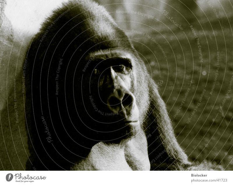 König ohne Reich Gorilla Trauer Verkehr Zootier Schwarzweißfoto Blick Traurigkeit