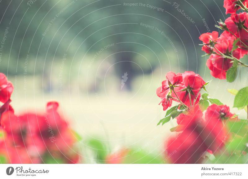 Rosengarten Natur Pflanze Sommer Blume Blatt Blüte Garten Park beobachten Blühend Erholung Wachstum Duft natürlich grün rot Gefühle Freude Romantik Idylle