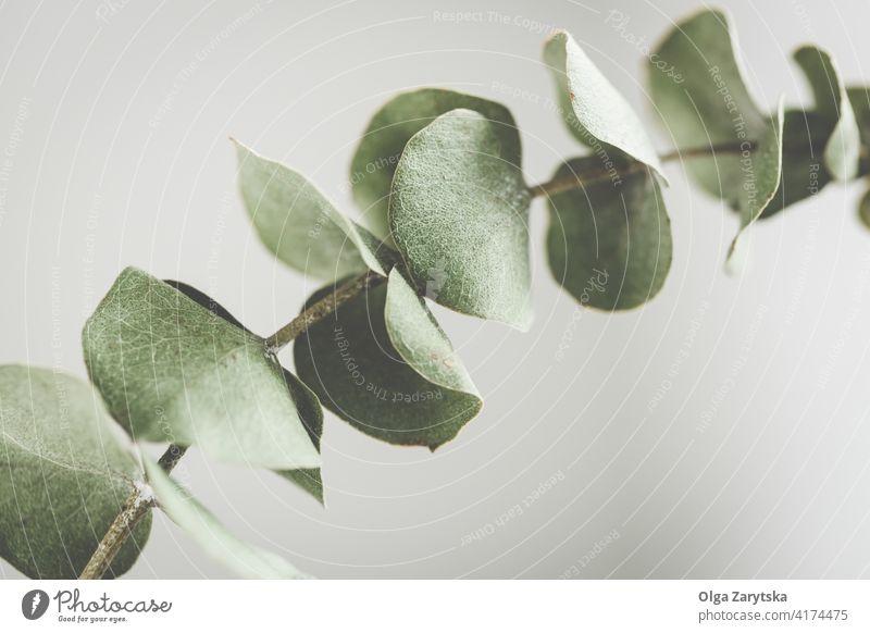Trockener Eukalyptuszweig grün Laubwerk Ast Blatt trocknen abschließen Hintergrund Pflanze natürlich geblümt eine Botanik Blätter tropisch Pastell