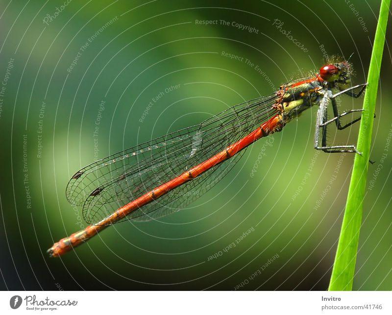 Frühe Adonislibelle Insekt Libelle Halm Makroaufnahme Flügel