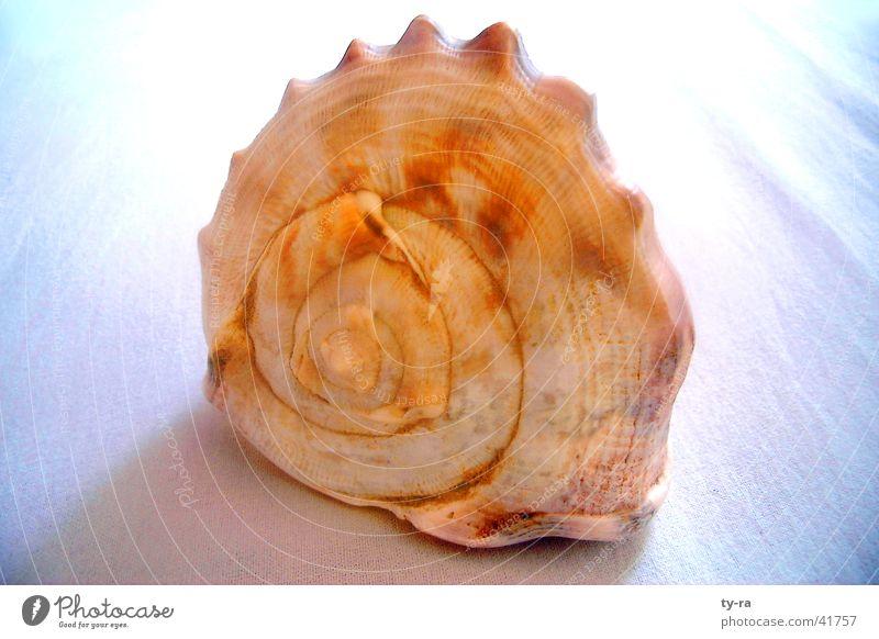 Schneckenmuschel Meer Muschel Schnecke Spirale