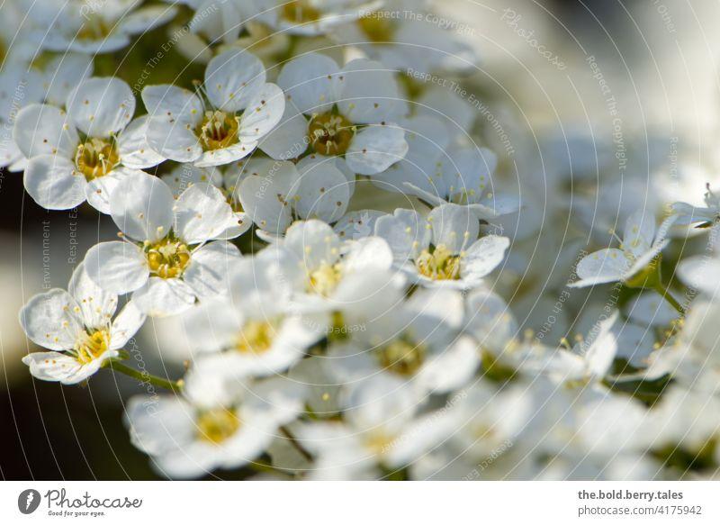 Blüten eines Spierstrauches Strauch blüht weiß Natur Pflanze Frühling Nahaufnahme Farbfoto Blühend Garten Außenaufnahme Schwache Tiefenschärfe natürlich Park