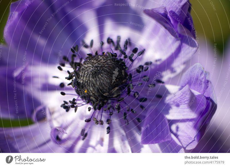 Anemone lila/violett Blume Blüte Pflanze Blühend Natur Frühling Garten Schwache Tiefenschärfe Makroaufnahme Farbfoto Außenaufnahme schön Menschenleer