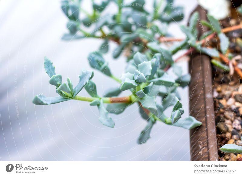 Schöne Kaktus Kakteen Sukkulenten Pflanzen Garten Wüste Pflanze im Gewächshaus. Blume Transparente grün Hintergrund Natur Dekor Nahaufnahme