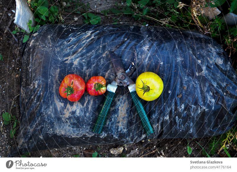 Gartenarbeitszubehör. Pruner, Ernte von roten und gelben Tomaten auf einem Beutel mit Dünger Hintergrund Körbe Sackleinen Ton Nahaufnahme Konzept Container