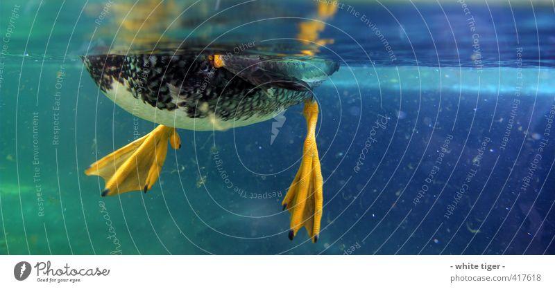 Ente unter Wasser Sommer Tier Vogel Flügel 1 Schwimmen & Baden blau gelb grün Algen Wasseroberfläche Farbfoto Nahaufnahme Unterwasseraufnahme Menschenleer