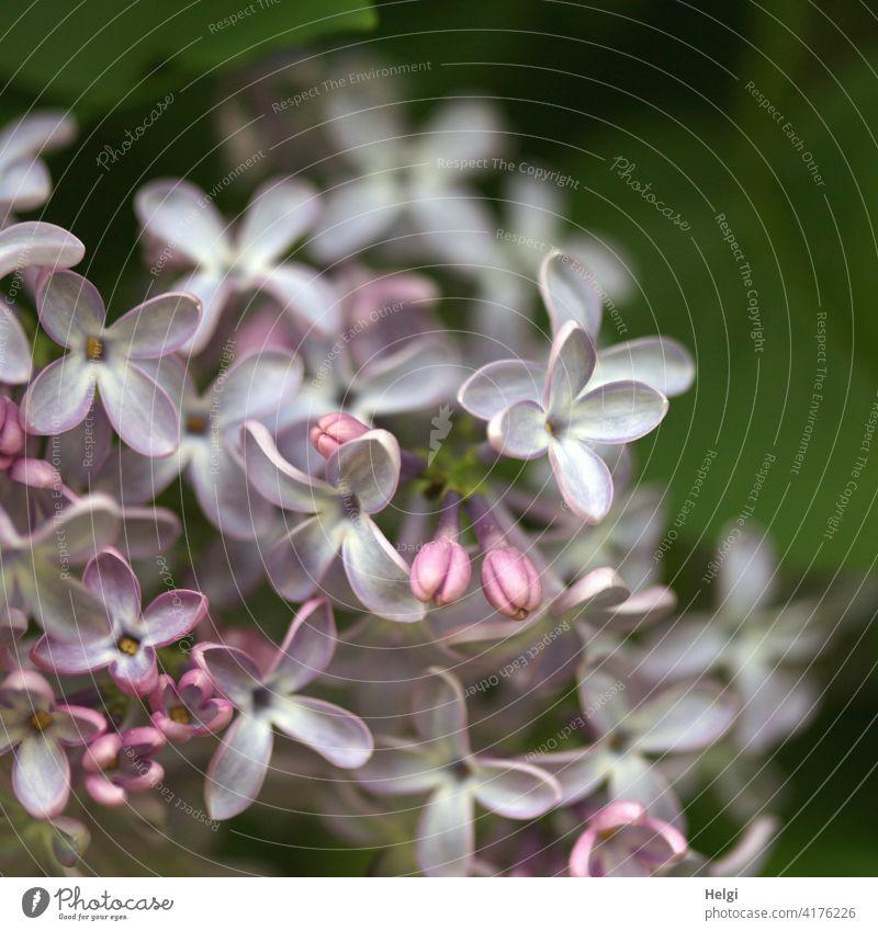 Fliederblüten Blume Blüte Fliederstrauch Frühling Natur Pflanze Garten Farbfoto violett Blühend Außenaufnahme Nahaufnahme Schwache Tiefenschärfe Makroaufnahme