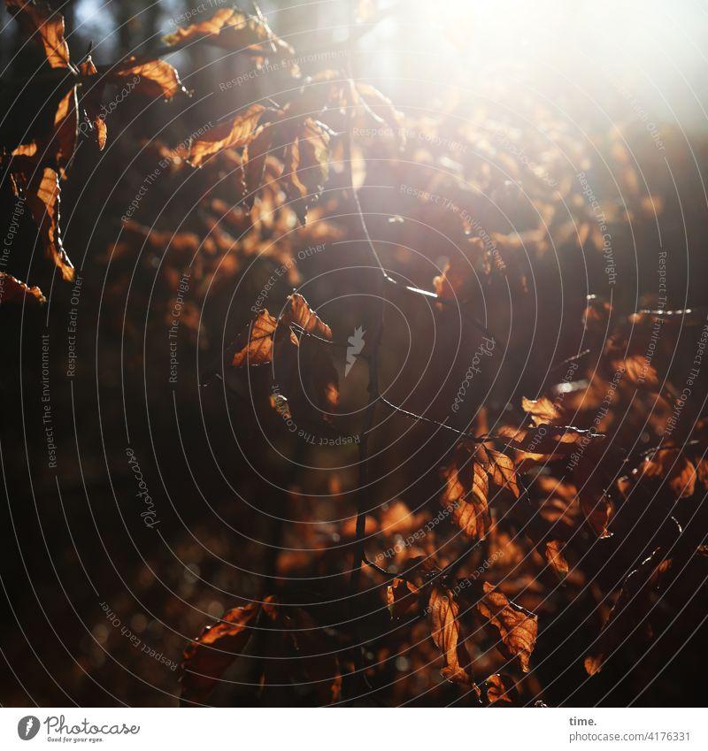 Herbstlicht blätter herbst baum wald wild sonnig gegenlicht sonnenlicht silhouette stimmung Blatt ast verwelkt tod sterben übergang natur umwelt blendend