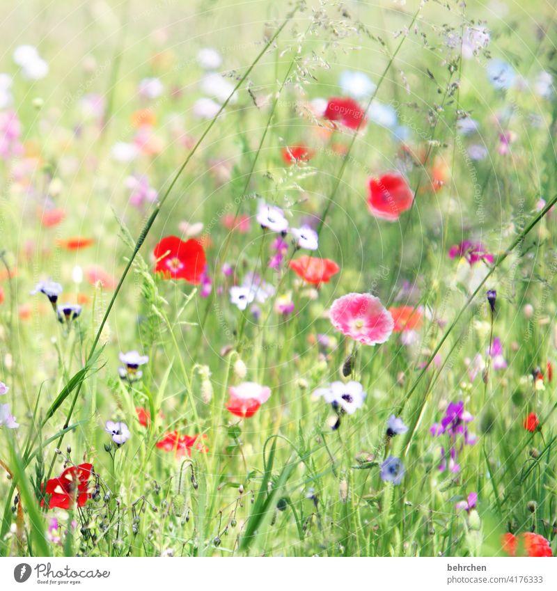 mo(h)ntagsblümchen Blumenwiese Feld Sommer prächtig leuchtend Farbfoto rot Mohnblüte Außenaufnahme Mohnfeld grün wunderschön Sonnenlicht Blütenblatt Nutzpflanze