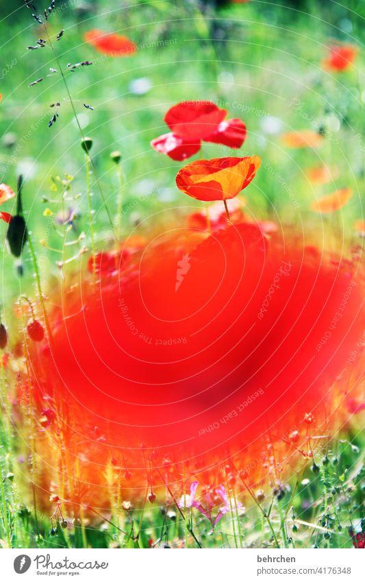 bämm...mo(h)ntagsknaller Mohnfeld Farbfoto grün Kontrast Frühling Sommer Außenaufnahme rot Pflanze Natur wunderschön prächtig leuchtend Mohnblüte Blume Blüte